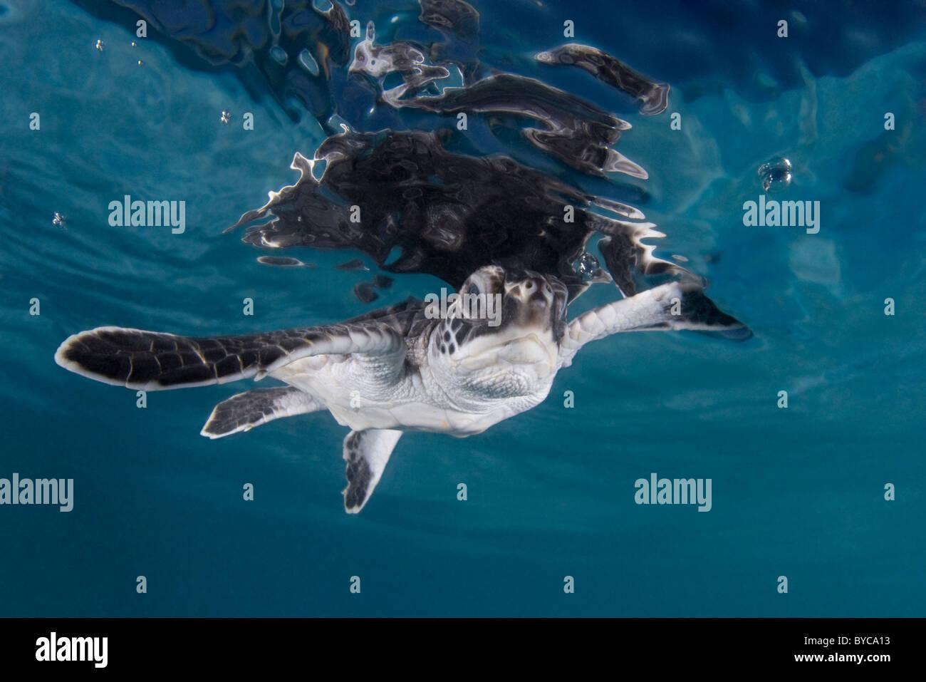 green sea turtle hatchling ( Chelonia mydas ), Endangered Species, Caribbean - Stock Image