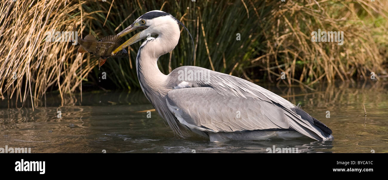 Grey Heron with fish in beak Stock Photo
