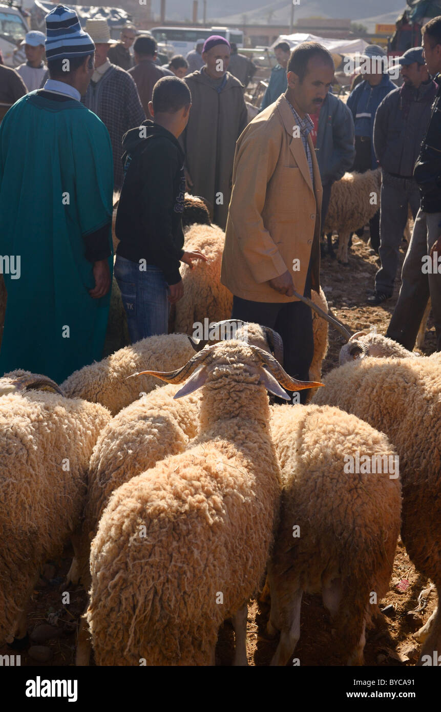 Sheep for sale in the market of Ait Ourir Morocco for sacrifice at the Muslim Eid Al Adha festival - Stock Image