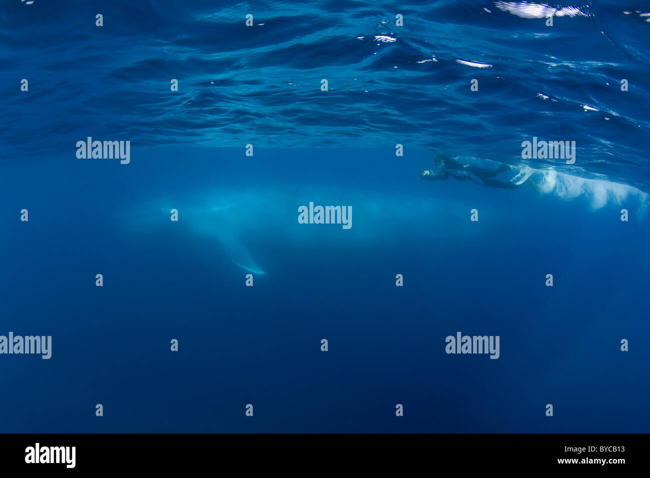 underwater photographer and blue whale ( Balaenoptera musculus ) Endangered Species California ( Eastern Pacific - Stock Image