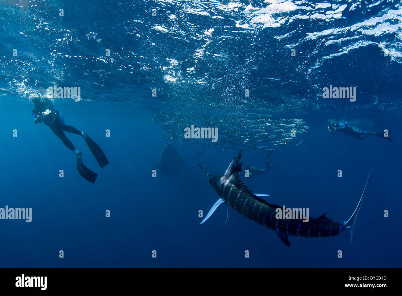 Bryde's whale approaches a bait ball of sardines, with underwater photographers and a striped marlin, #1 of - Stock Image