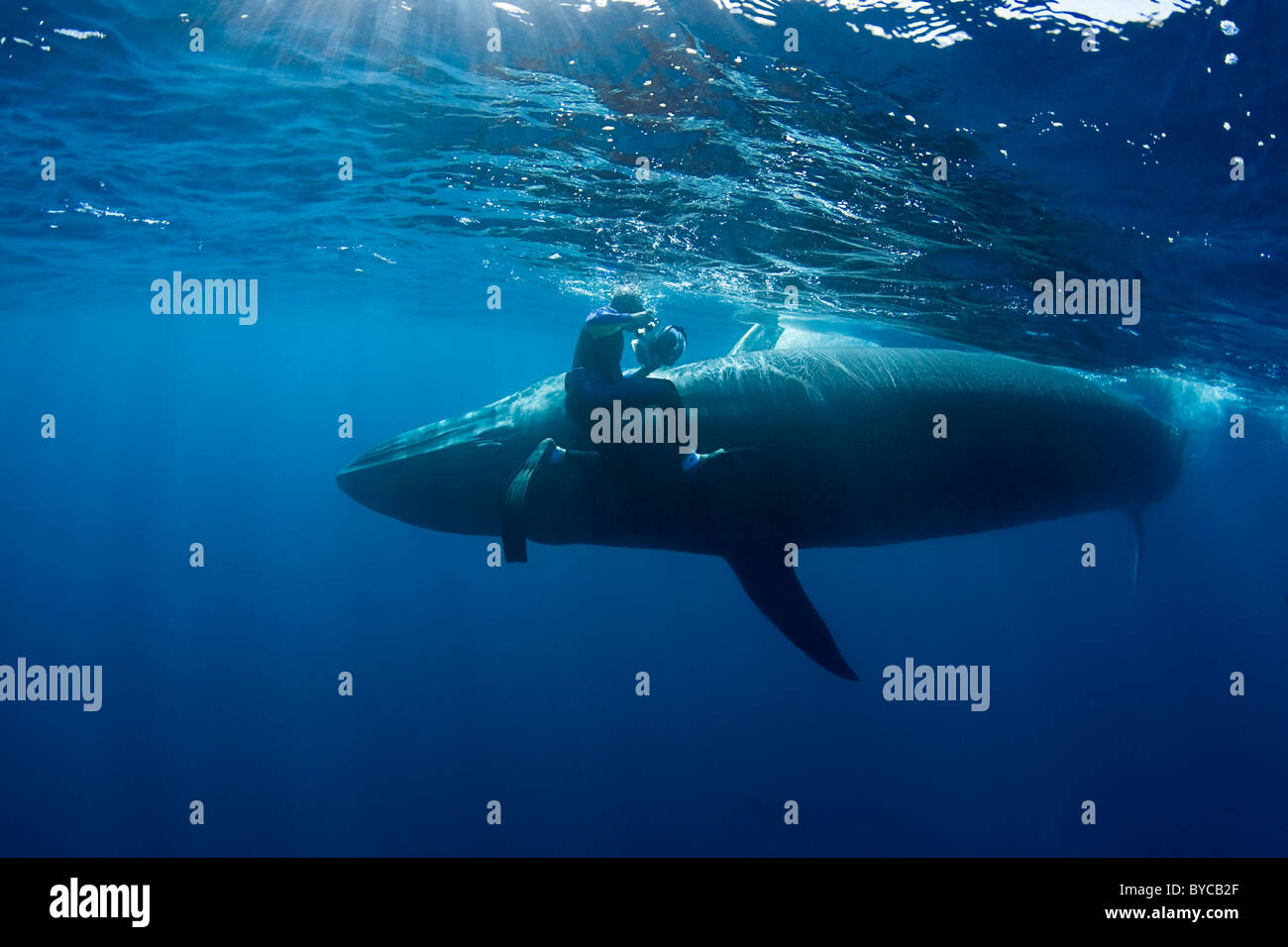 photographer Brandon Cole and Bryde's whale, Baja California, Mexico ( Eastern Pacific Ocean ) #3 of 4 - Stock Image