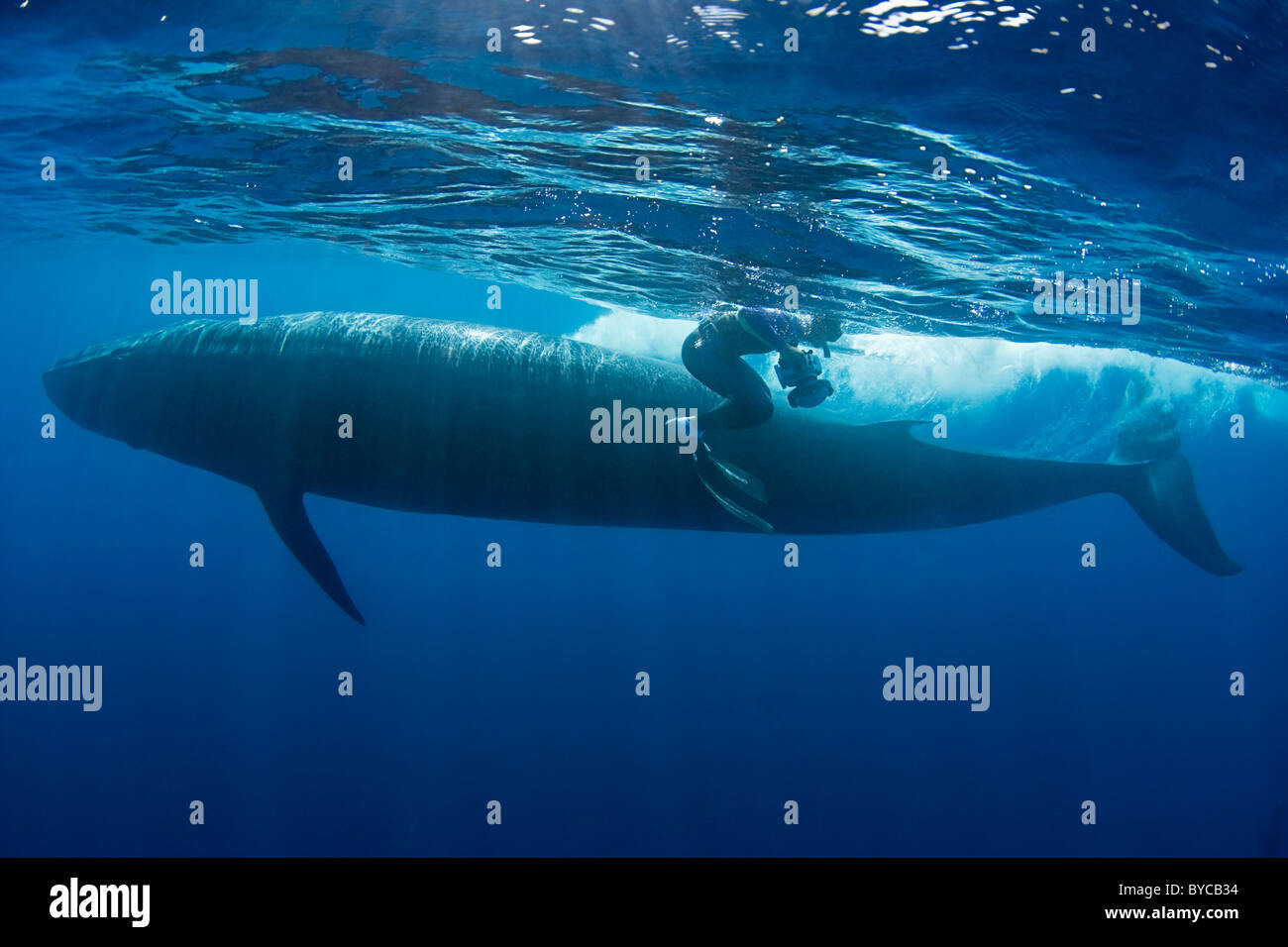 photographer Brandon Cole and Bryde's whale, Baja California, Mexico ( Eastern Pacific Ocean ) #4 of 4 - Stock Image