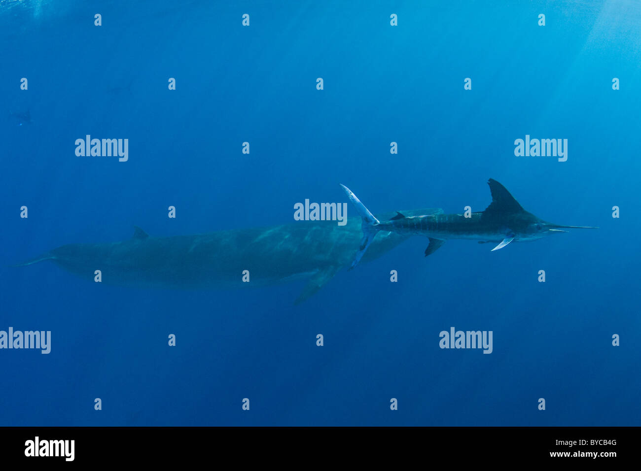 striped marlin swims past Bryde's whale, Baja, Mexico, Eastern Pacific Ocean - Stock Image