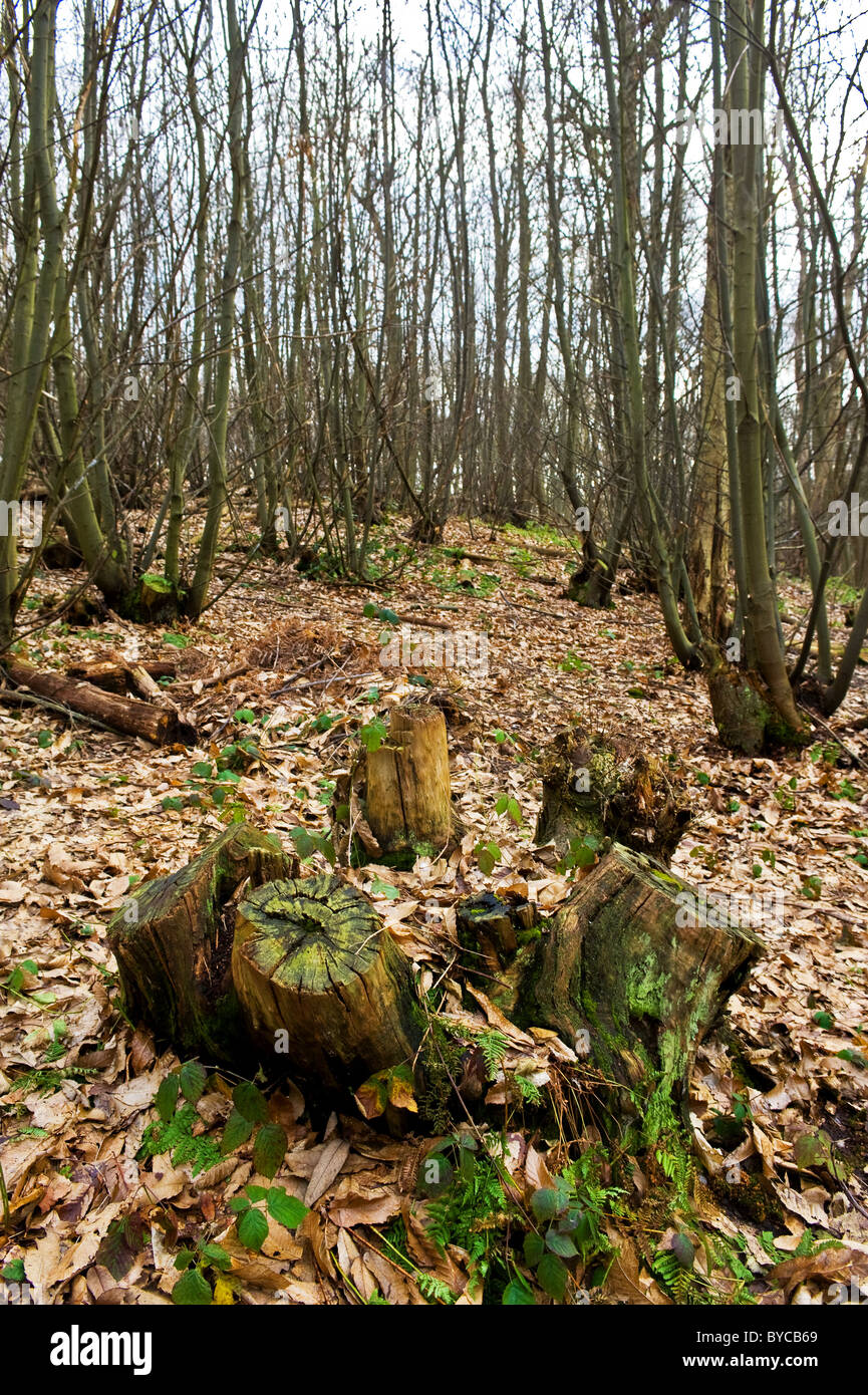 Stumps of felled trees amongst dead leaves in Norsey Woods in Essex. - Stock Image