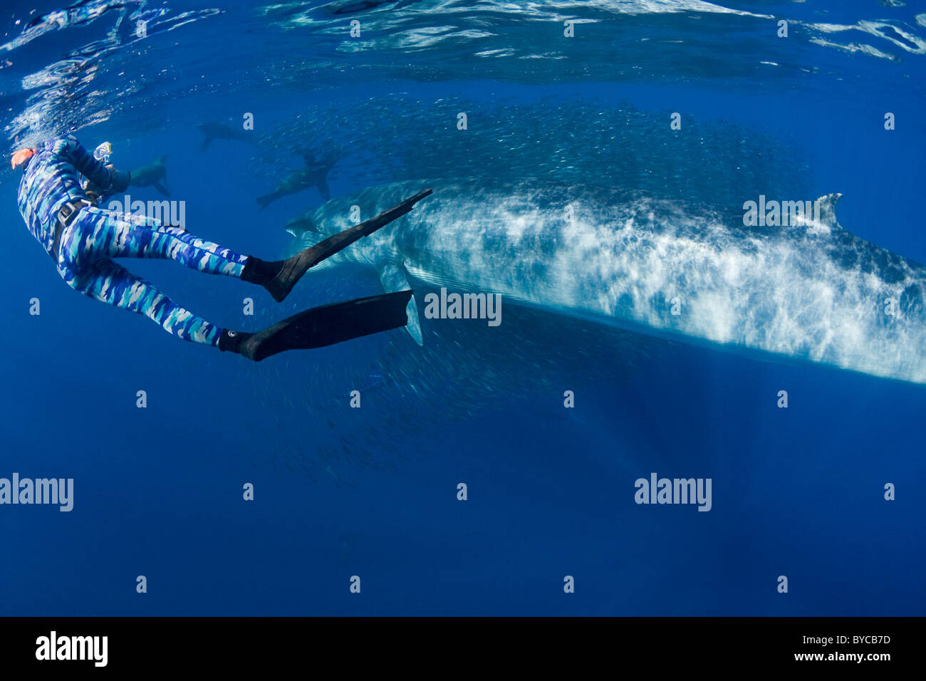 videographer with Bryde's whale and California sea lions feeding on sardines and mackerel off Baja, Mexico, - Stock Image