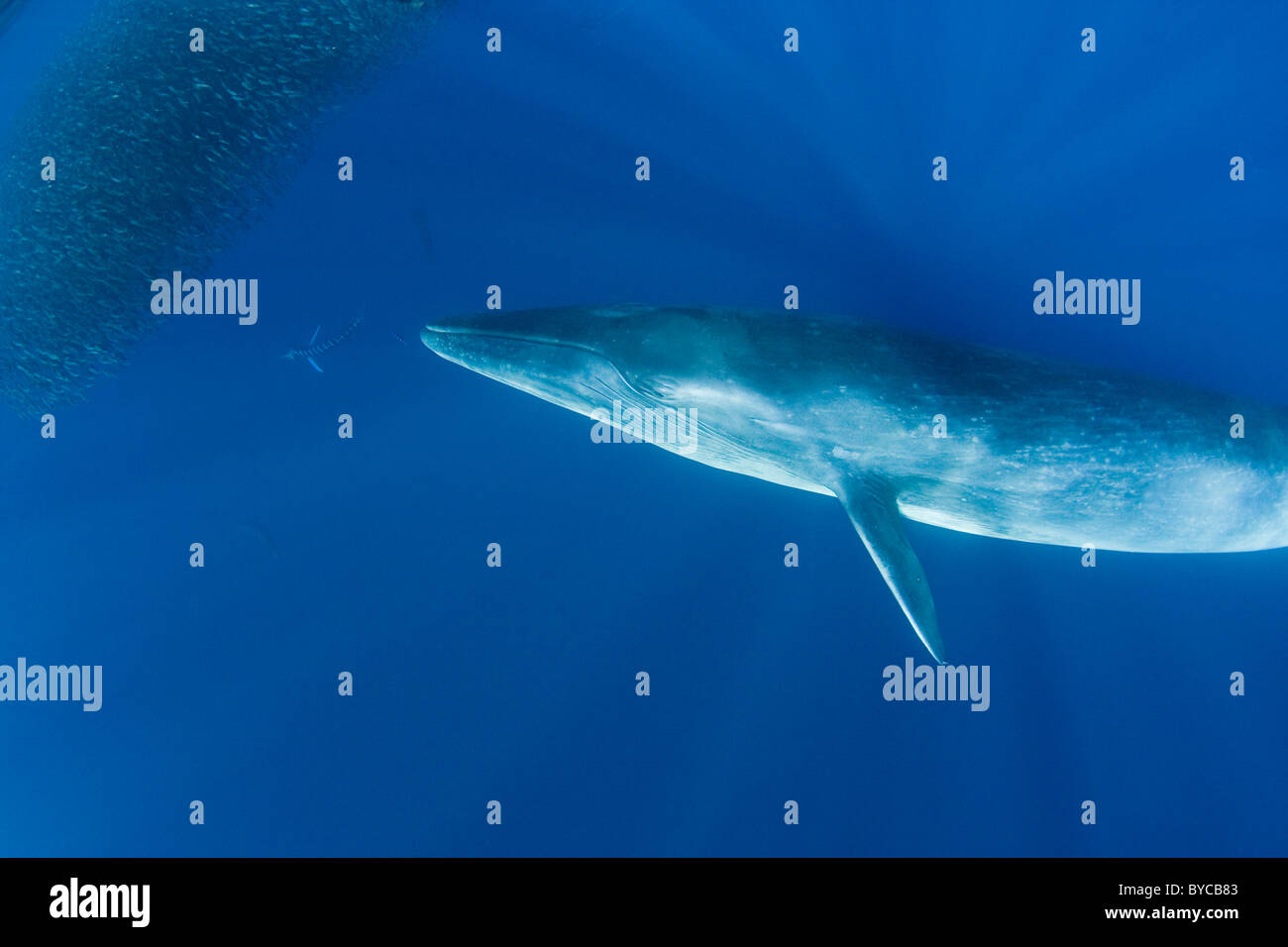 Bryde's whale and striped marlin feeding on sardines and mackerel off Baja, Mexico, Pacific Ocean - Stock Image