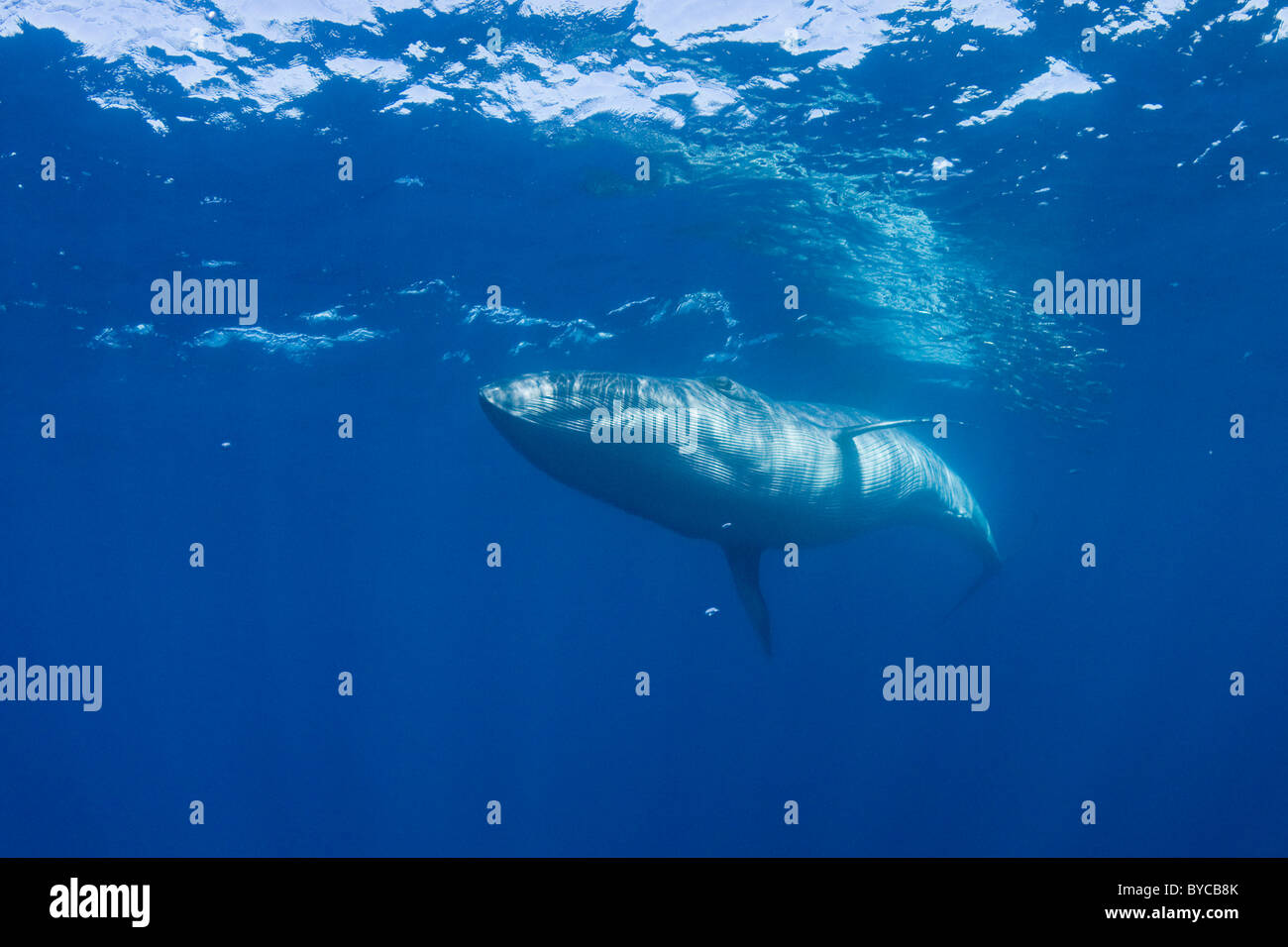 Byrde's whale swims past a baitball of sardines, off Baja California, Mexico - Stock Image