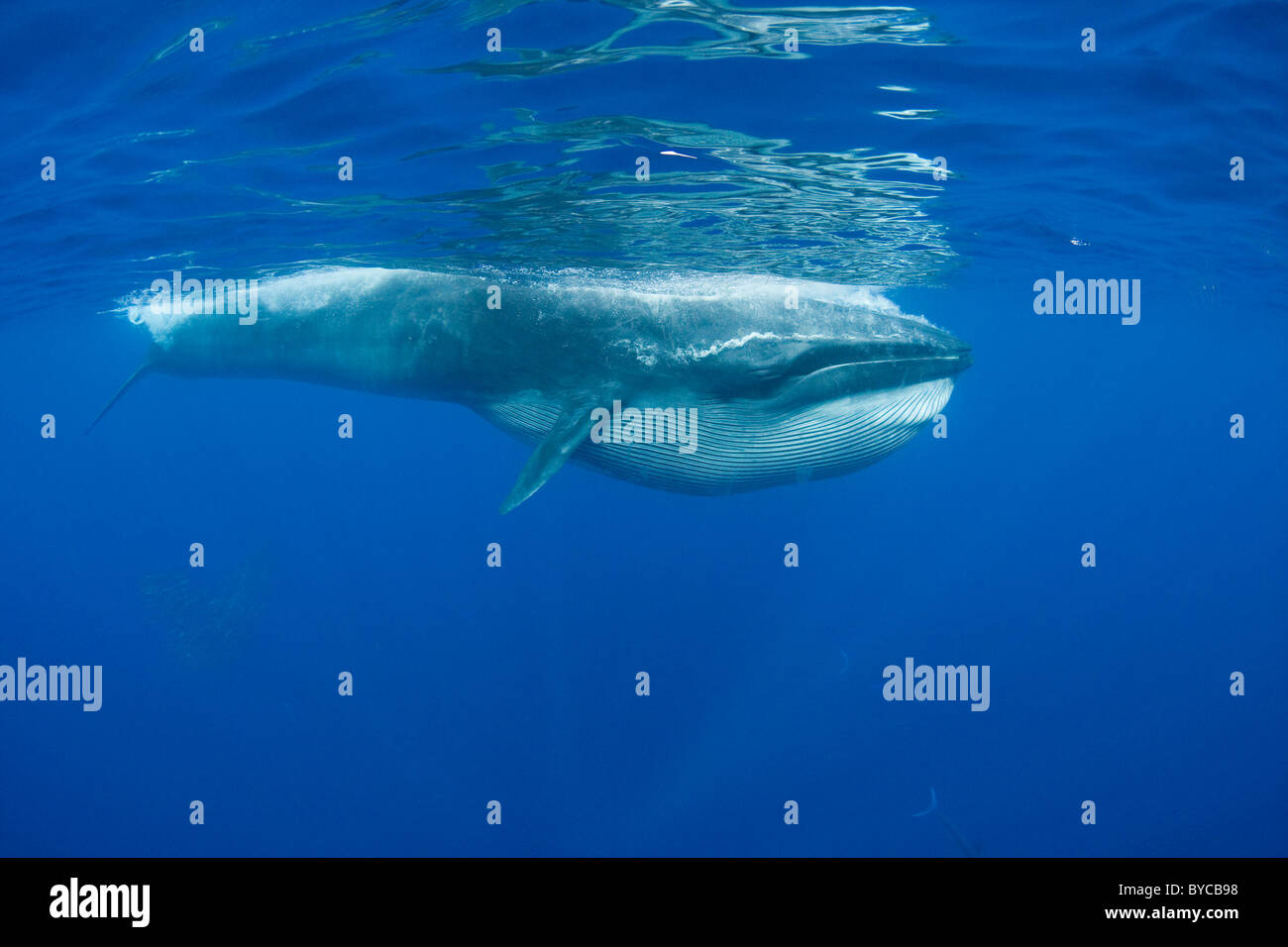 Bryde's whale, with throat pleats expanded after feeding on sardines, Pacific Ocean, off Baja, Mexico - Stock Image