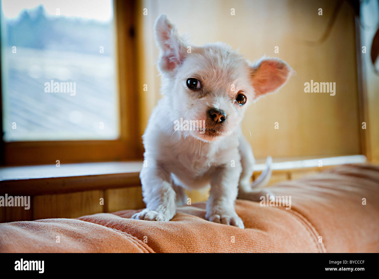 Small white Chihuahua puppy or young dog in Lijiang, Yunnan Province, China. JMH4753 - Stock Image