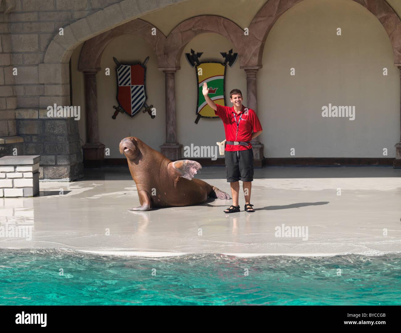 Walrus waving his flipper. Show at Marineland, Niagara Falls, Ontario, Canada 2009. - Stock Image
