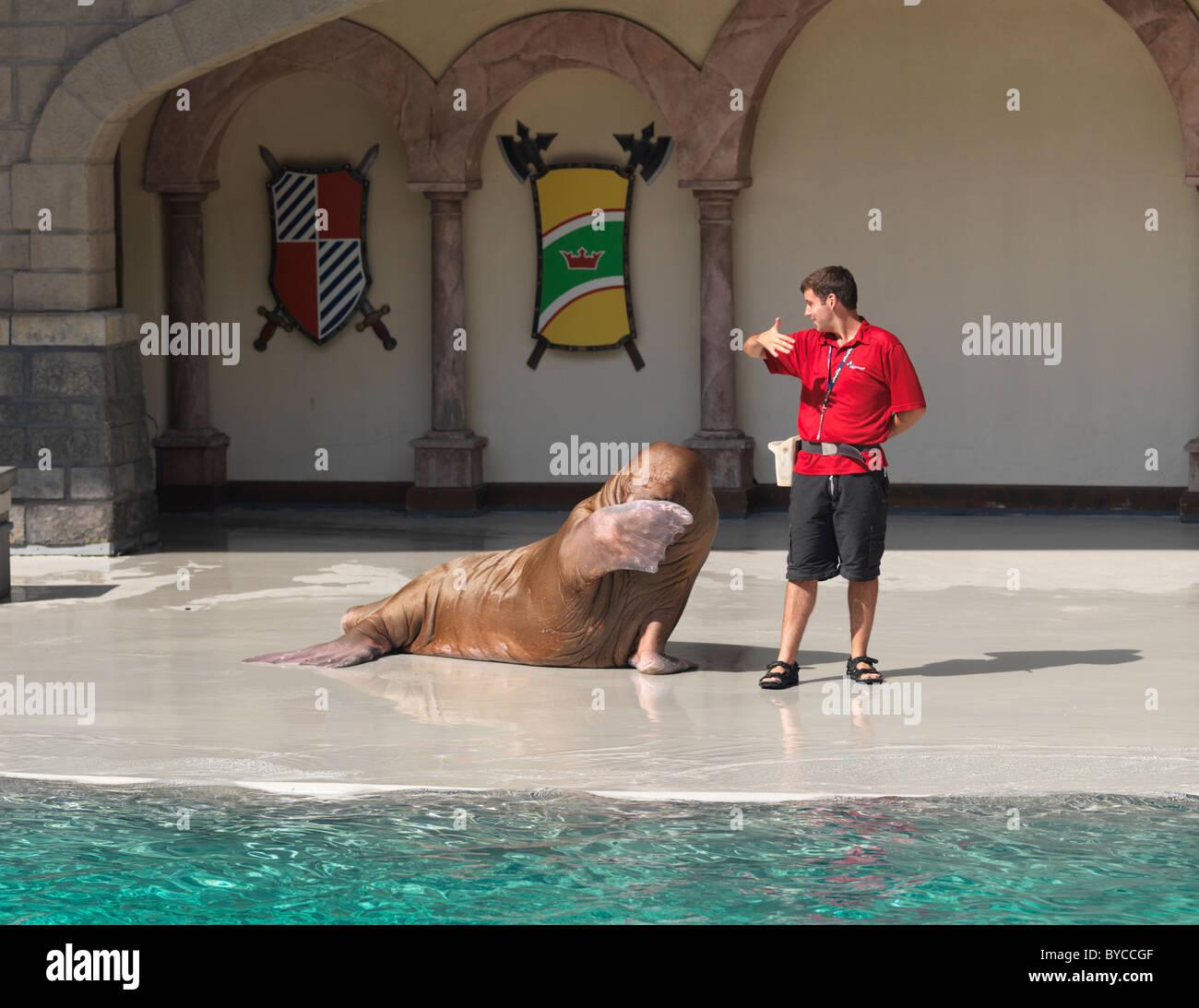 Walrus covering its eyes with his flipper. Show at Marineland, Niagara Falls, Ontario, Canada 2009. - Stock Image