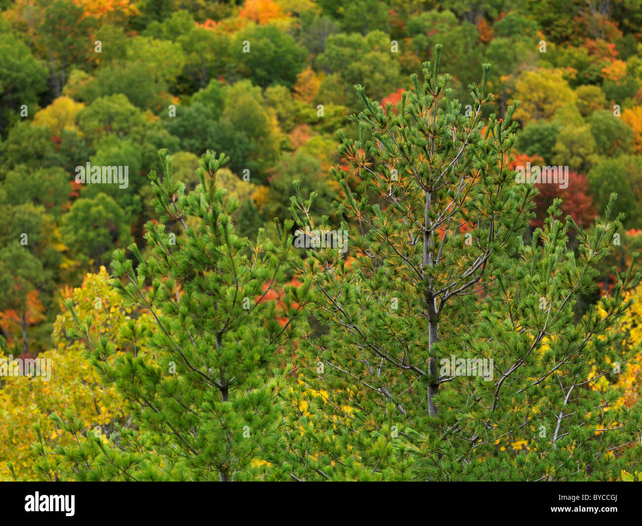 Colorful autumn forest. Fall nature scenery. Algonquin Provincial Park, Ontario, Canada. - Stock Image