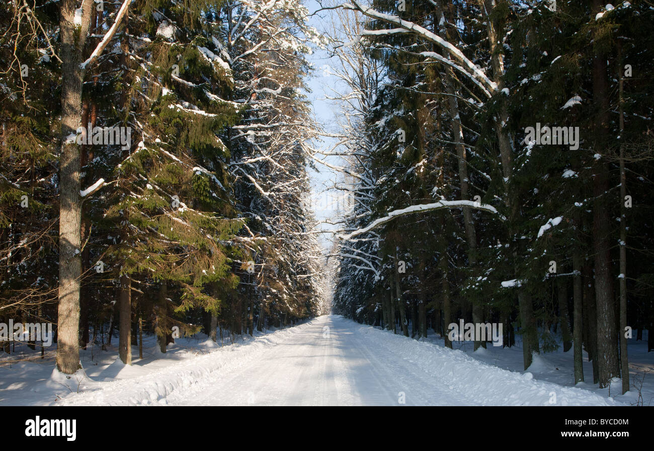 Snowy wide ground road crossing old mixed stand of Bialowieza Forest in sun of midday divided in sunny and shady - Stock Image