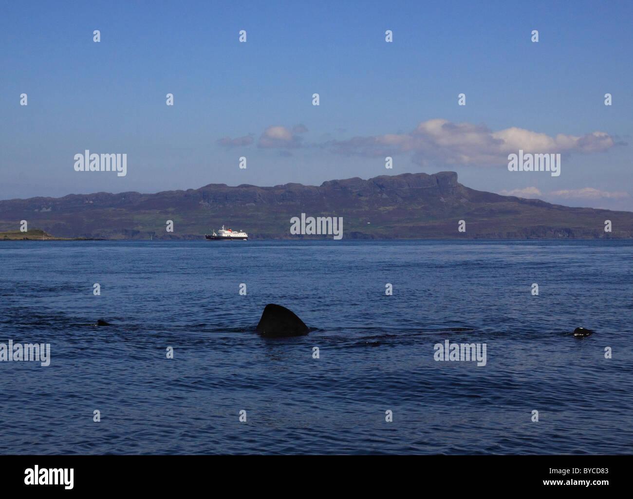 UK Scotland Inverness-shire Sea of Hebrides Basking Shark and the Hebridean Princess and Island of Eigg - Stock Image