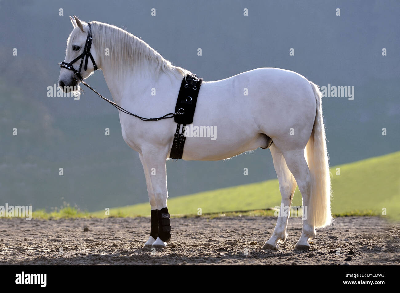 Andalusian Horse (Equus ferus caballus) ready for longeing. Stock Photo