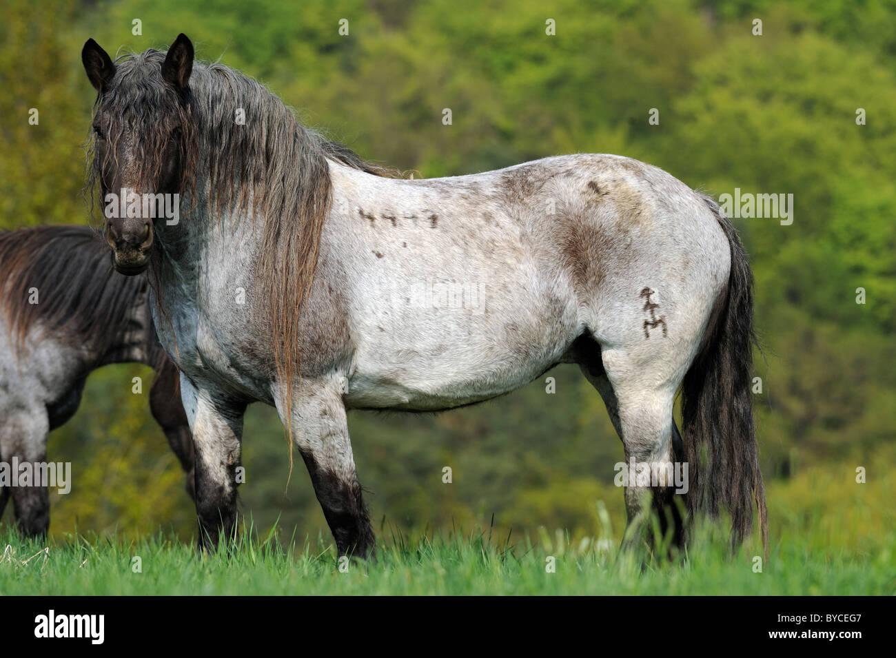 Noriker Horse (Equus ferus caballus), stallion standing on a pasture. - Stock Image