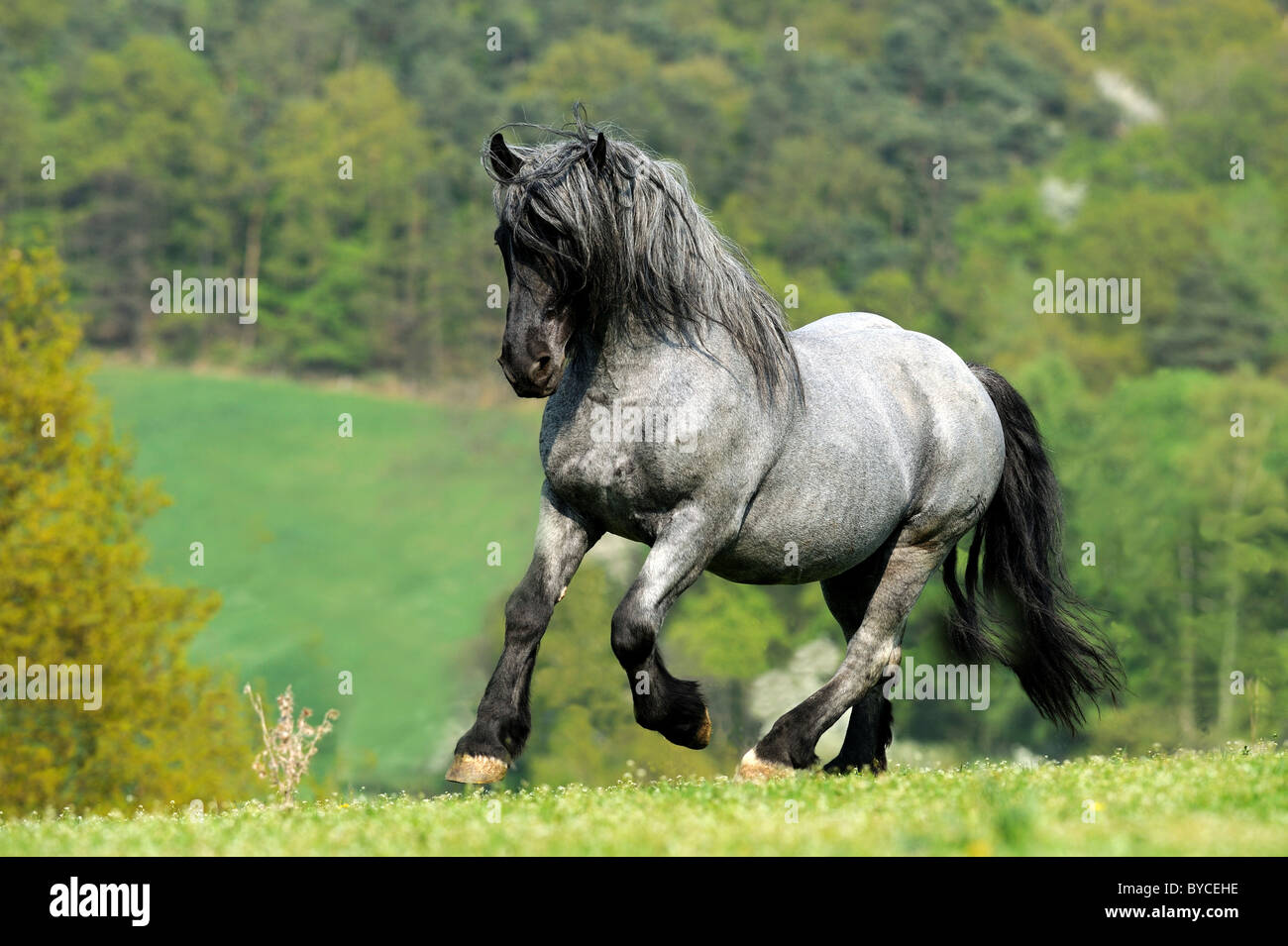 Noriker Horse (Equus ferus caballus), stallion in a gallop on a pasture. - Stock Image