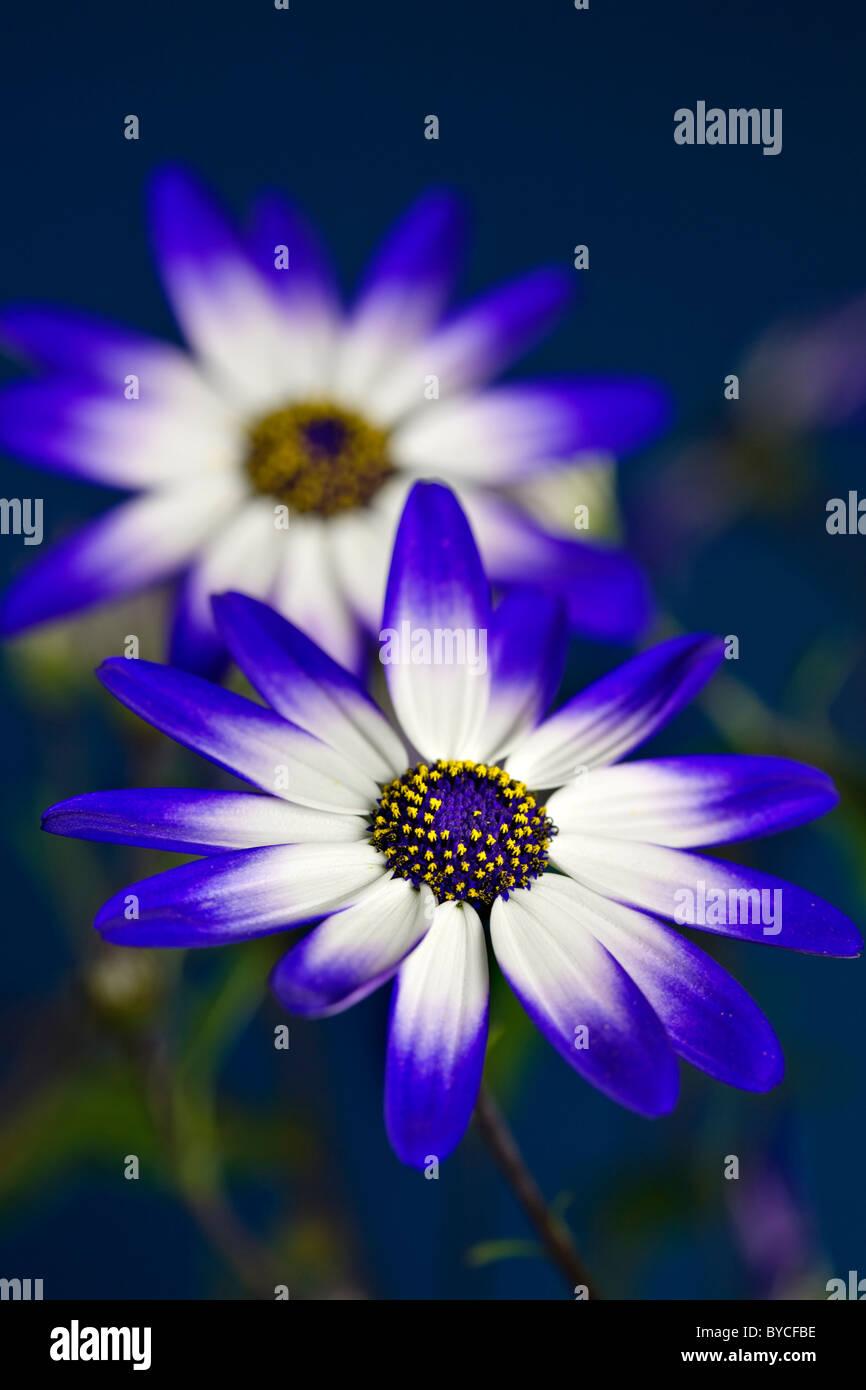 Senetti flowers - Stock Image