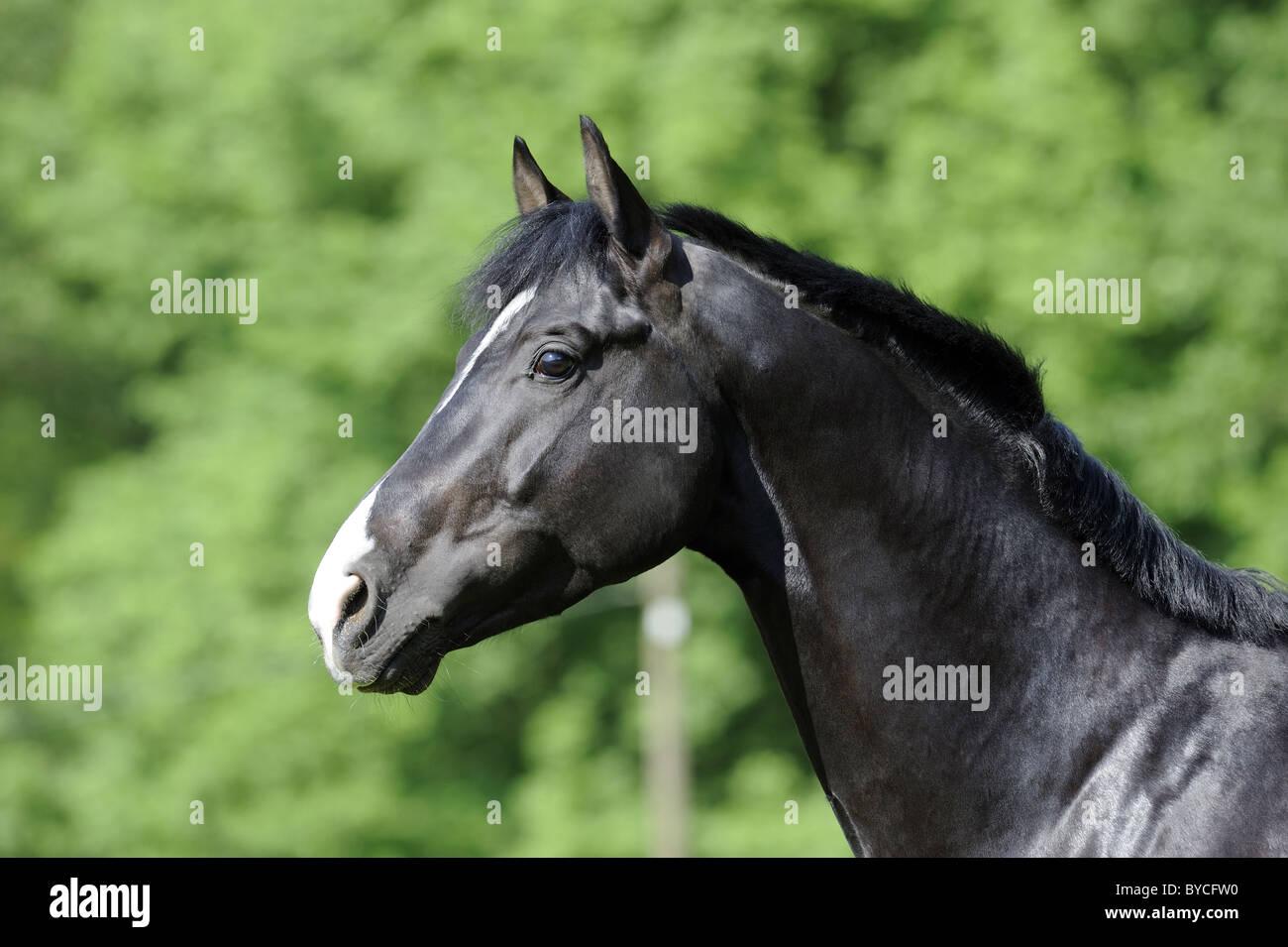 Trakehner (Equus ferus caballus), portrait of a stallion. - Stock Image
