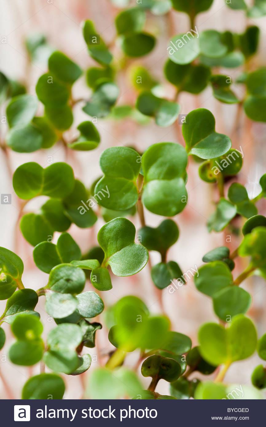 Radish Chinese Dragon seedlings grow sprouing perlite edible kitchen garden plant winter spring shoots - Stock Image