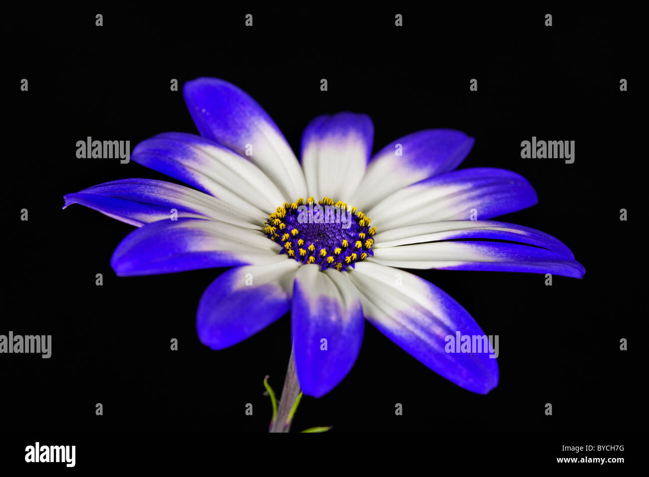 Plant portrait of senetti flower - Stock Image