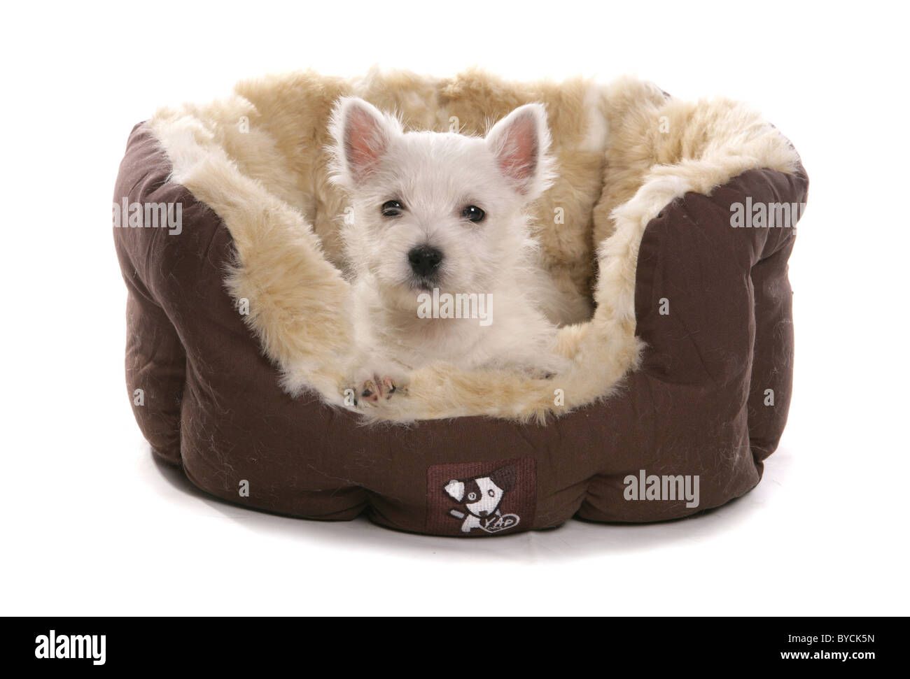 White west highland terrier puppy in bed Portrait Studio - Stock Image