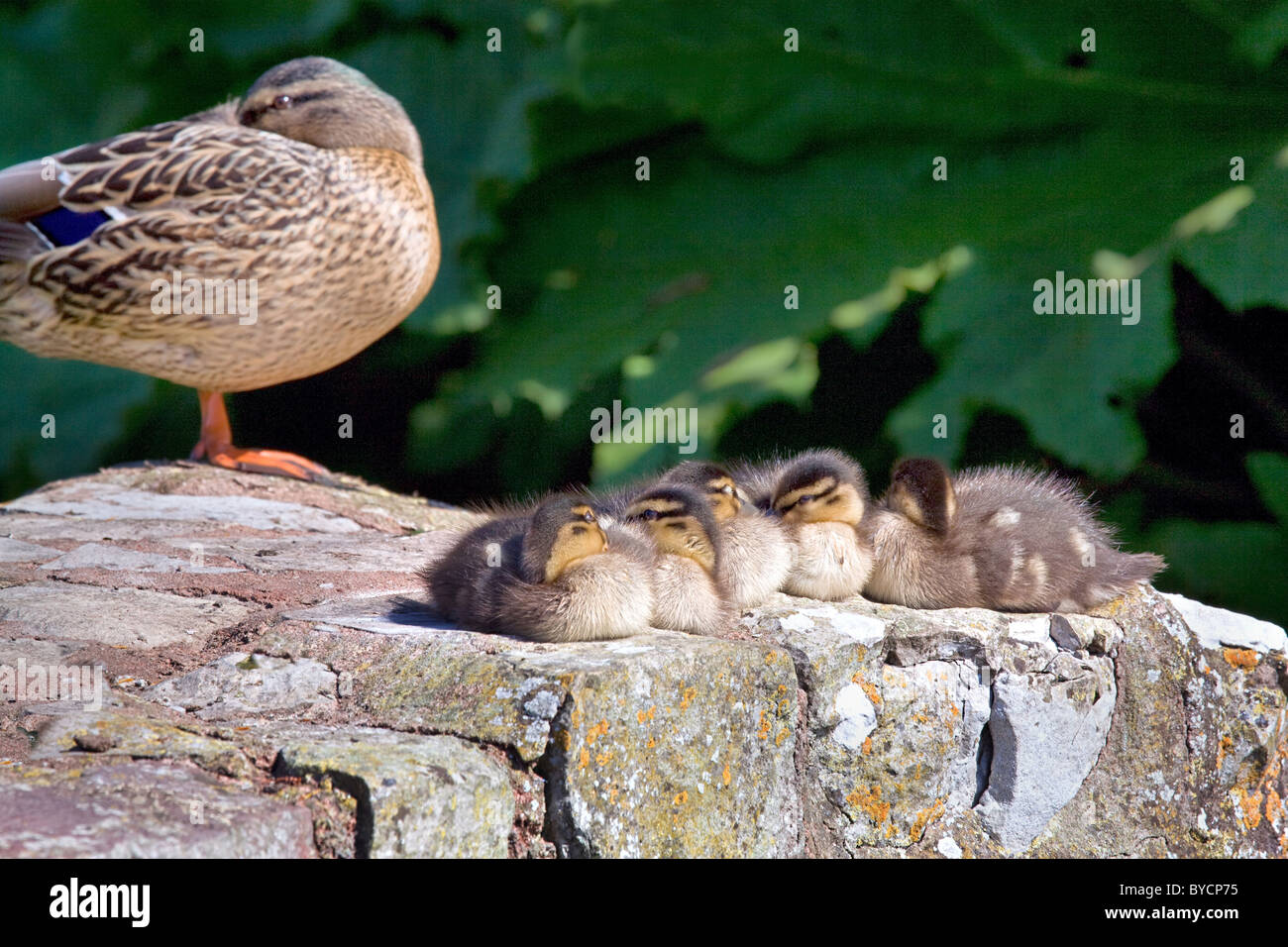 Female Mallard duck sleeping with half an eye on her napping ducklings - Stock Image
