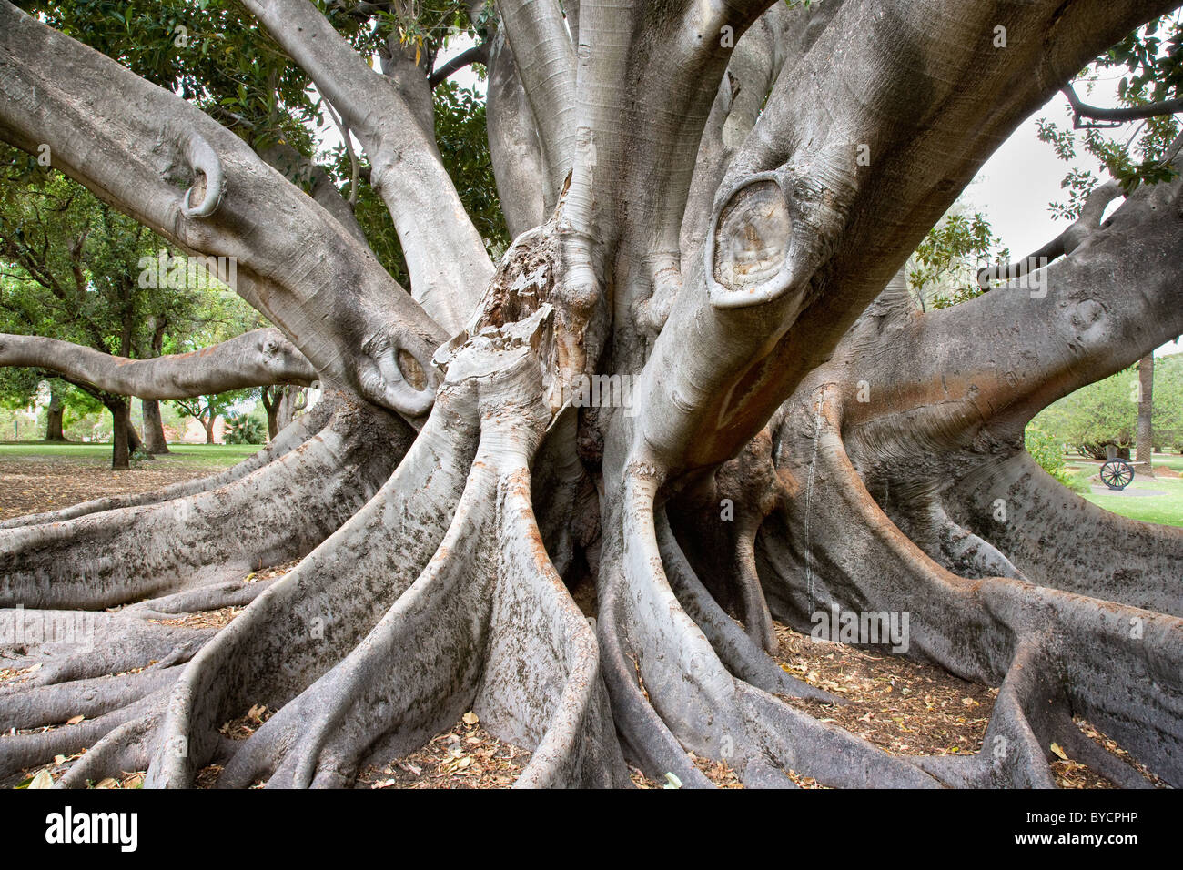 Buttress roots and multiple trunks of a Moreton Bay fig tree in Kings Park in Perth Western Australia Stock Photo