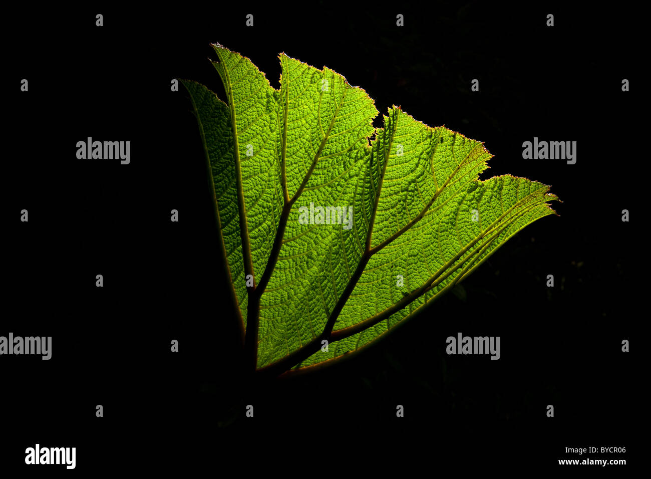 Unfolding leaf in La Amistad national park, Chiriqui province, Republic of Panama. Stock Photo