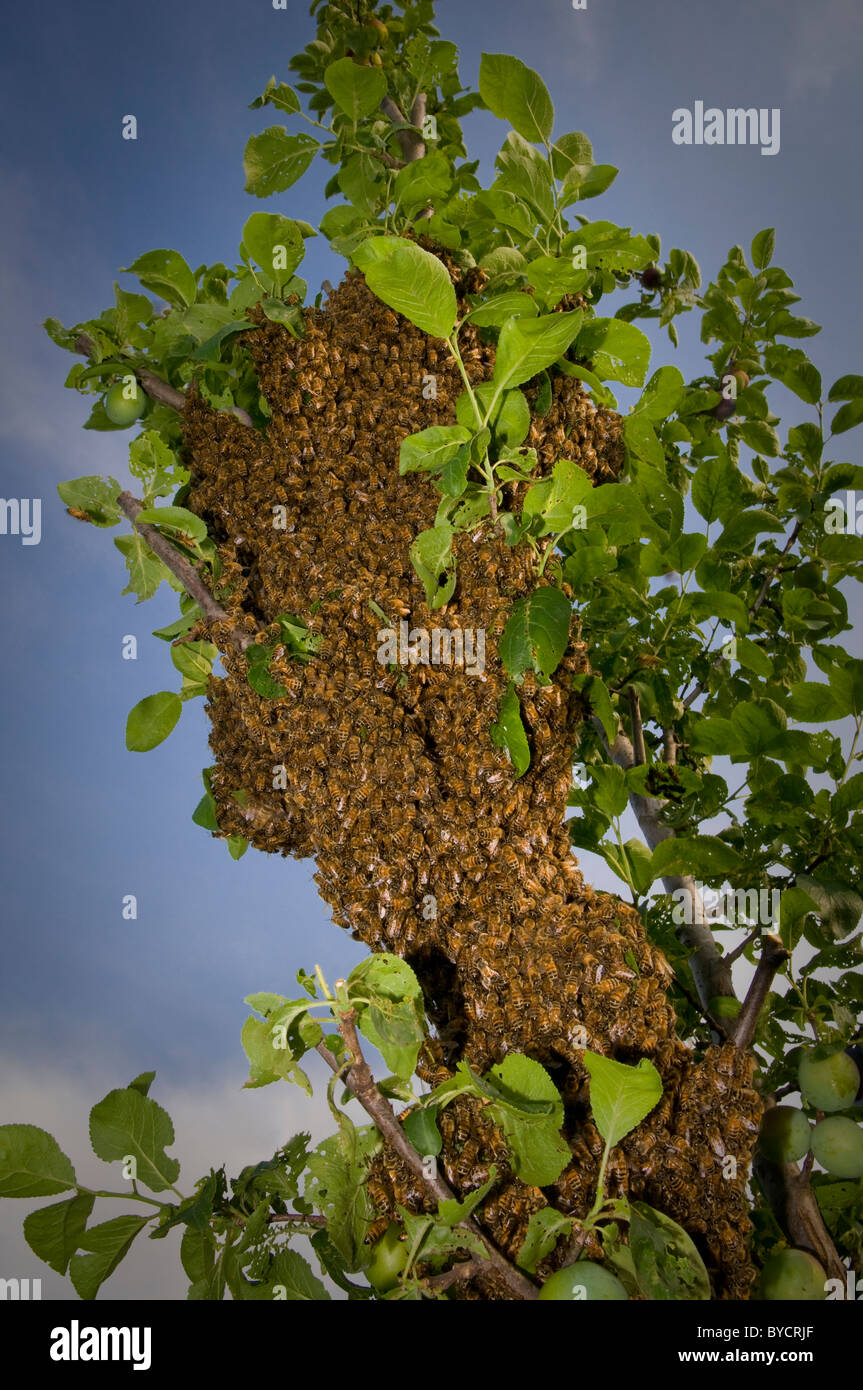 Bees' nest in tree, close up - Stock Image