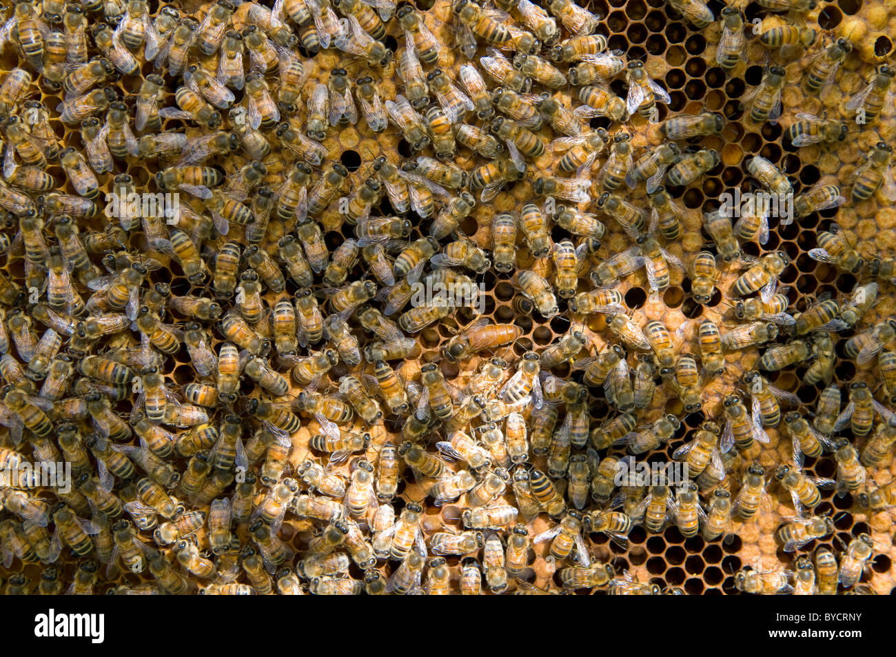 Unmarked queen honeybee Apis mellifera tended by workers - Stock Image