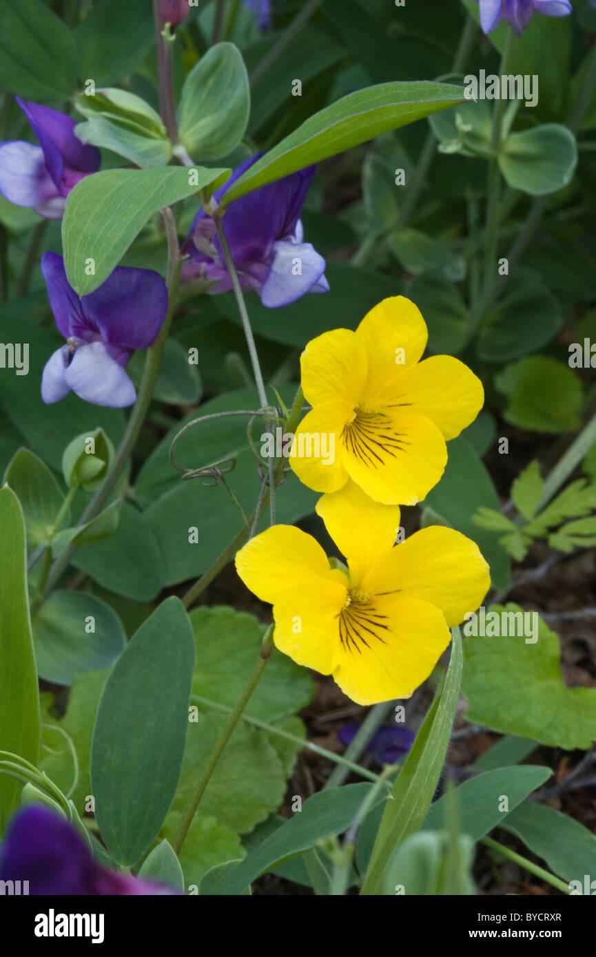 Yellow violet viola magellanica flowers in los glaciares national yellow violet viola magellanica flowers in los glaciares national park in the south west of santa cruz province argentina mightylinksfo