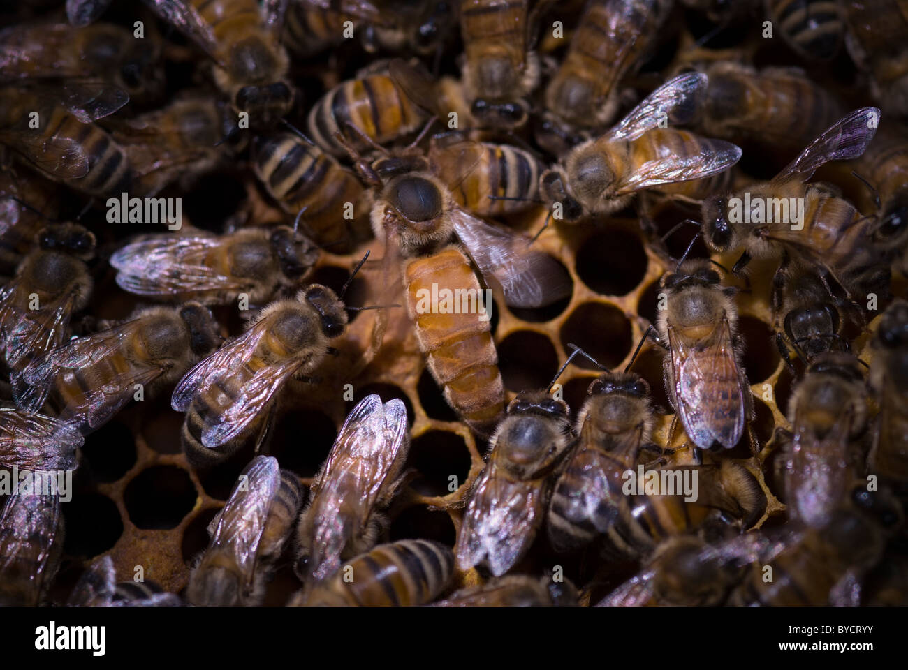 Unmarked queen honeybee (Apis mellifera) tended by workers - Stock Image