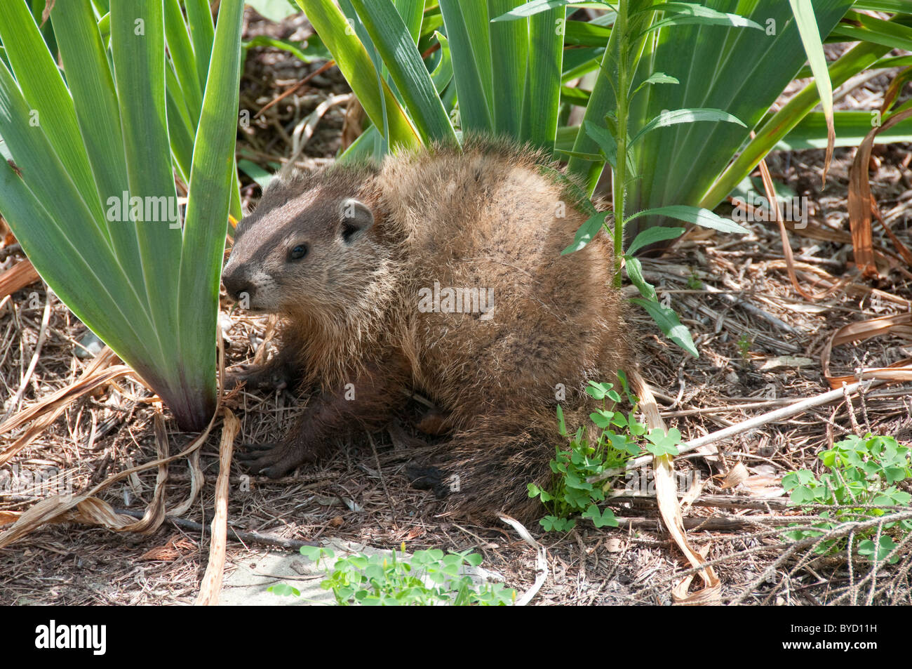 Woodchuck; Marmota monax; common North American burrowing and hibernating marmot; - Stock Image
