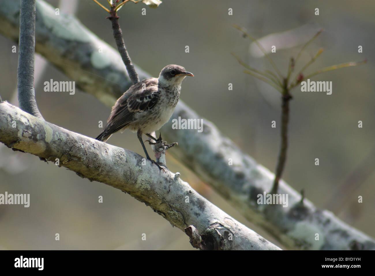 Mocking bird on Isla Isabela in the Galapagos Islands - Stock Image