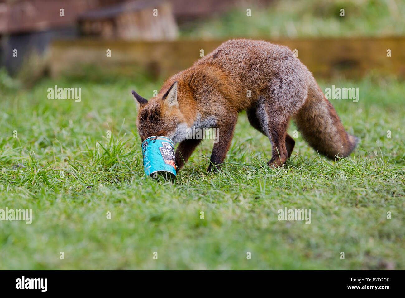 Red Fox ( Vulpes vulpes ) scavenging can from dustbin - Stock Image