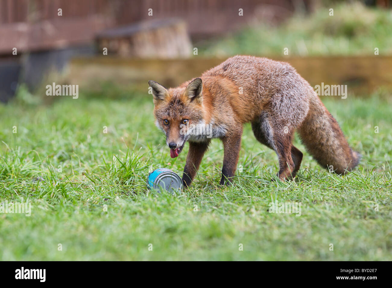 Red Fox ( Vulpes vulpes ) scavenging can - Stock Image