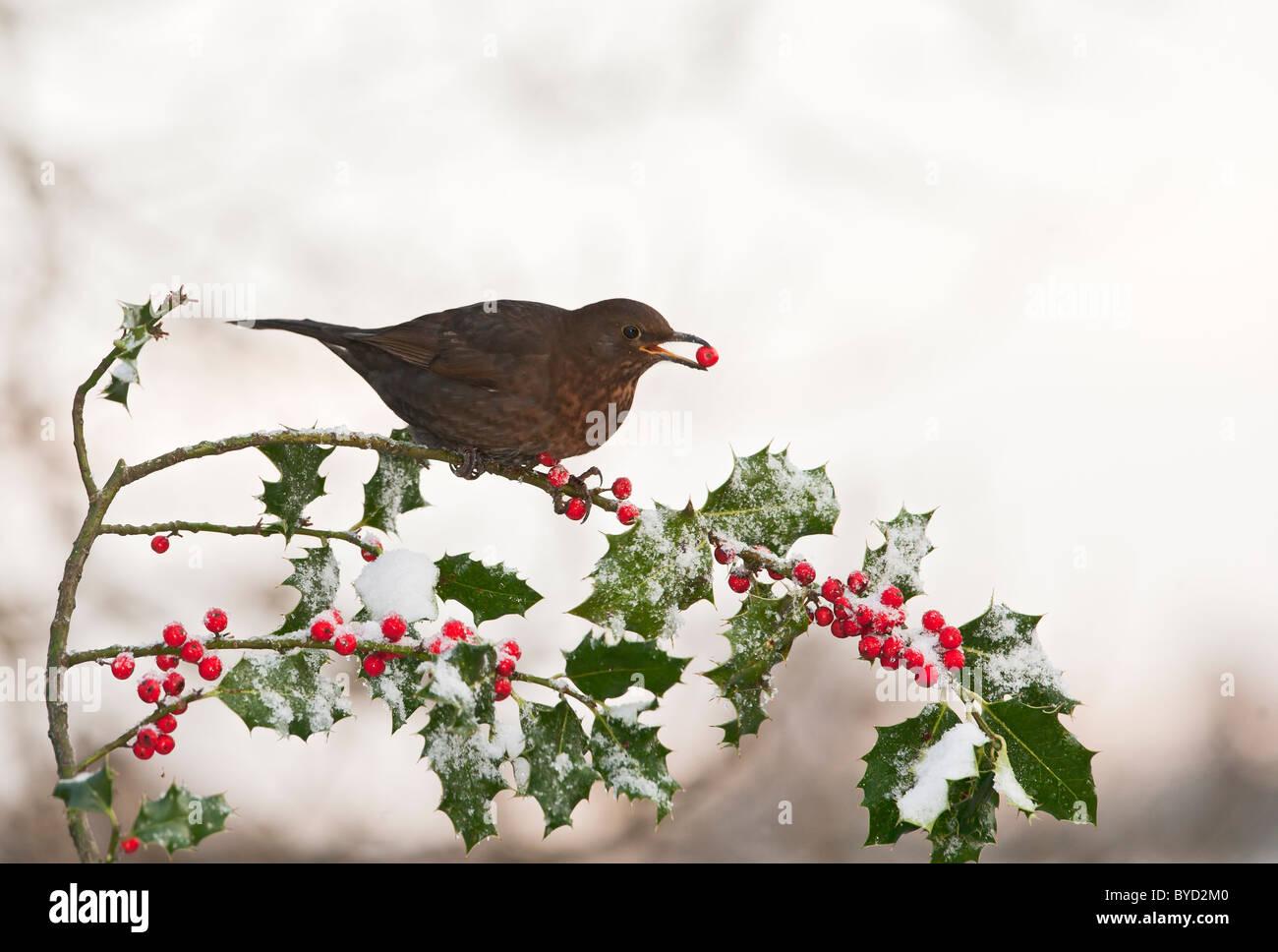 Blackbird ( Turdus merula ) feeding on Holly berries in snow - Stock Image