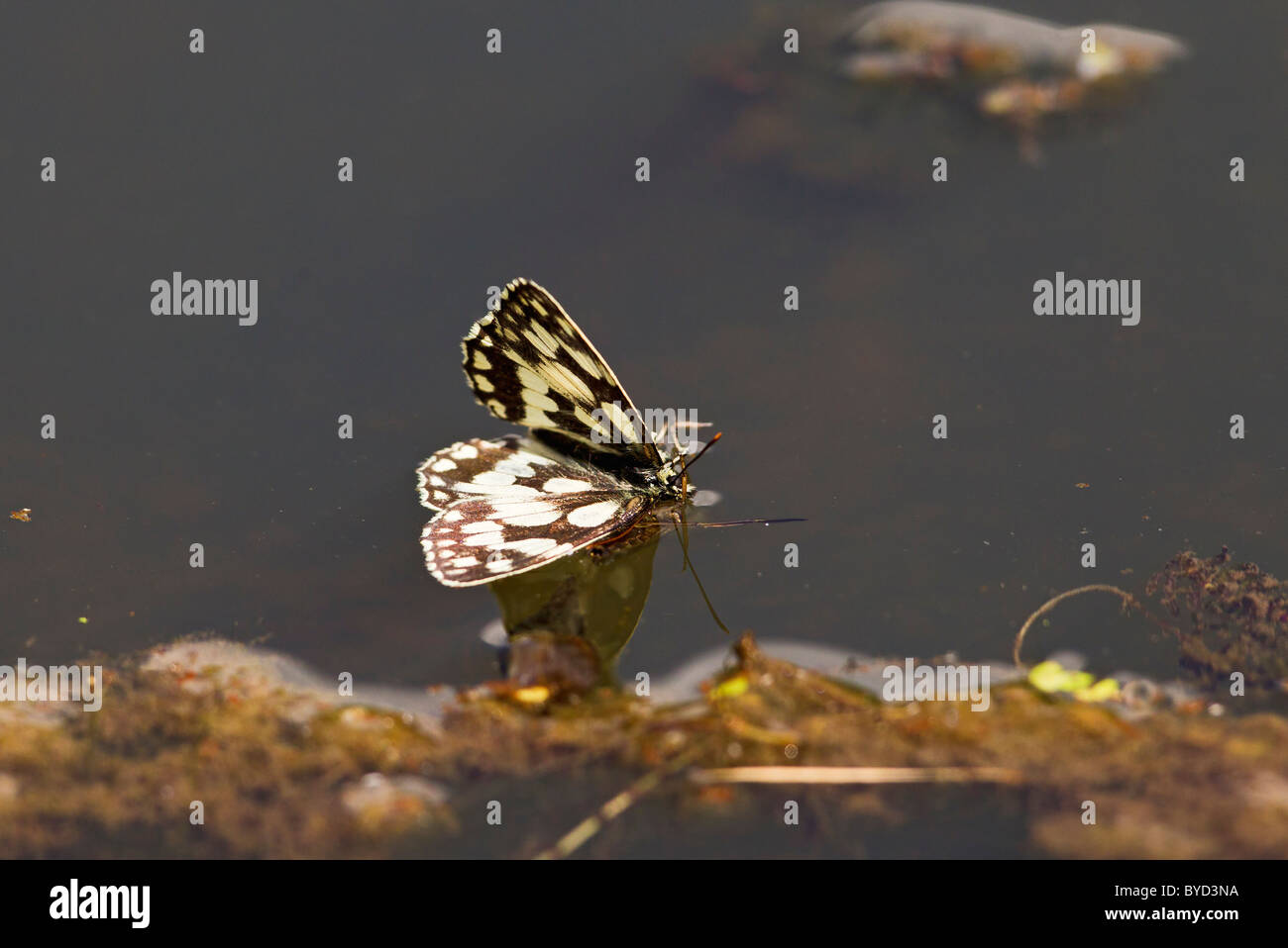 Marbled White ( Melanargia galathea ) floating on pond - Stock Image