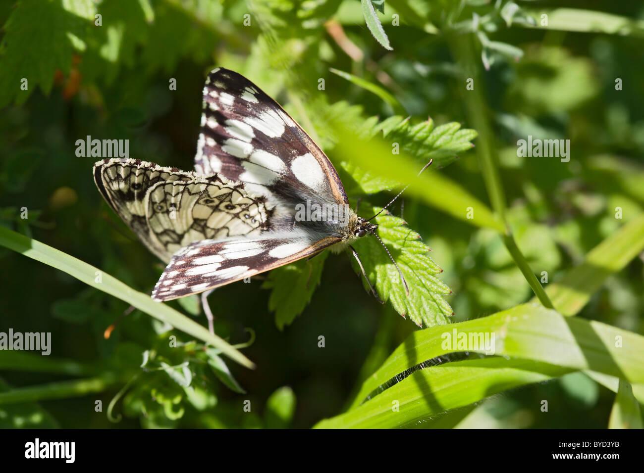 Marbled White ( Melanargia galathea ) pair mateing - Stock Image