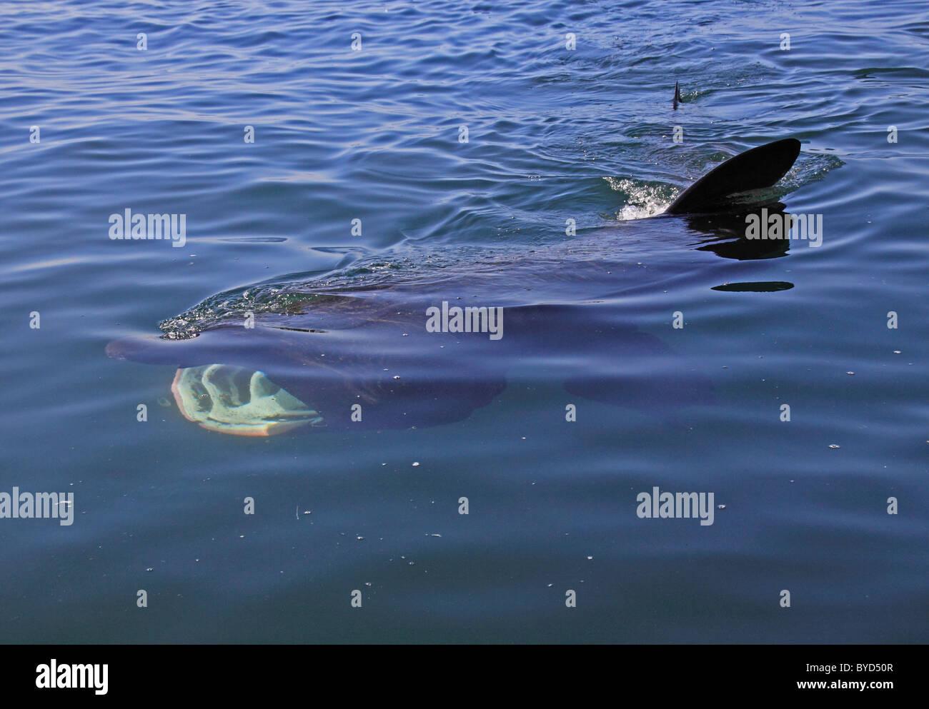 UK basking Shark feeding on Plankton - Stock Image