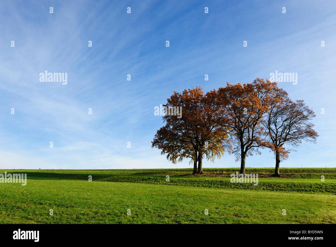 4 Beech trees, autumn landscape, Holzhausen on Lake Starnberg, Bavaria, Germany, Europe - Stock Image