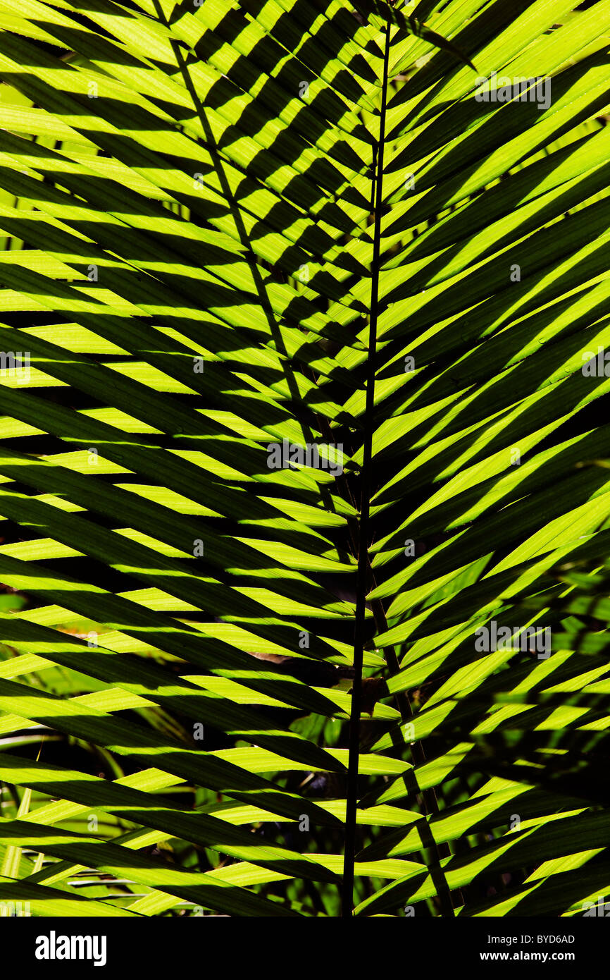 Palm frond, Daintree National Park, Queensland, Australia - Stock Image