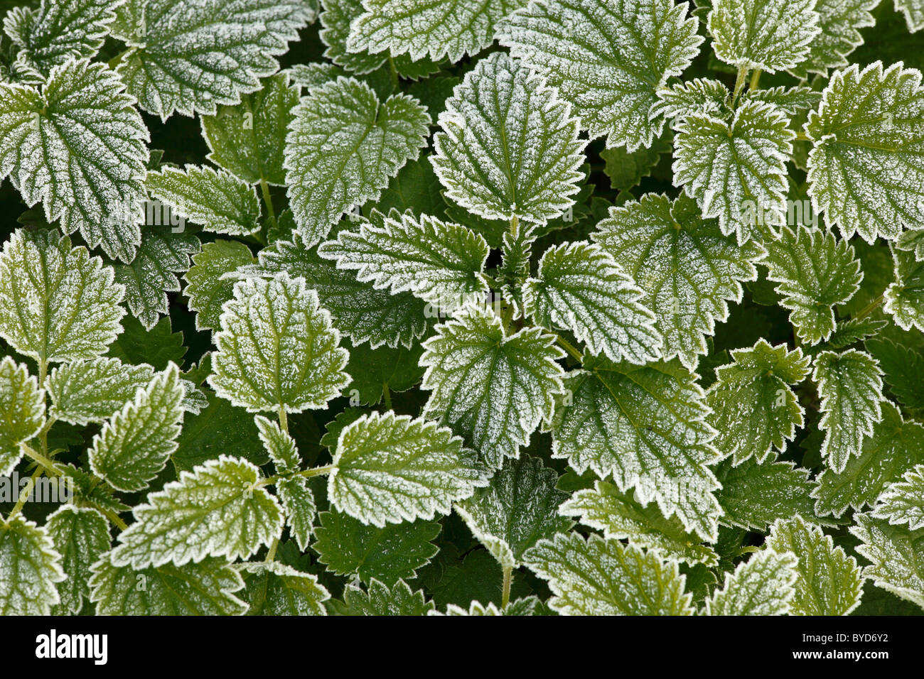 Large stinging nettle (Urtica dioica) with hoarfrost - Stock Image