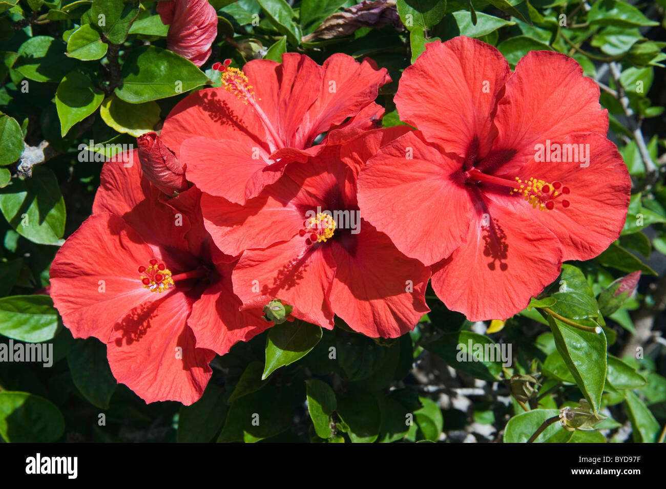 Red hibiscus flowers hibiscus lanzarote canary islands spain red hibiscus flowers hibiscus lanzarote canary islands spain europe izmirmasajfo