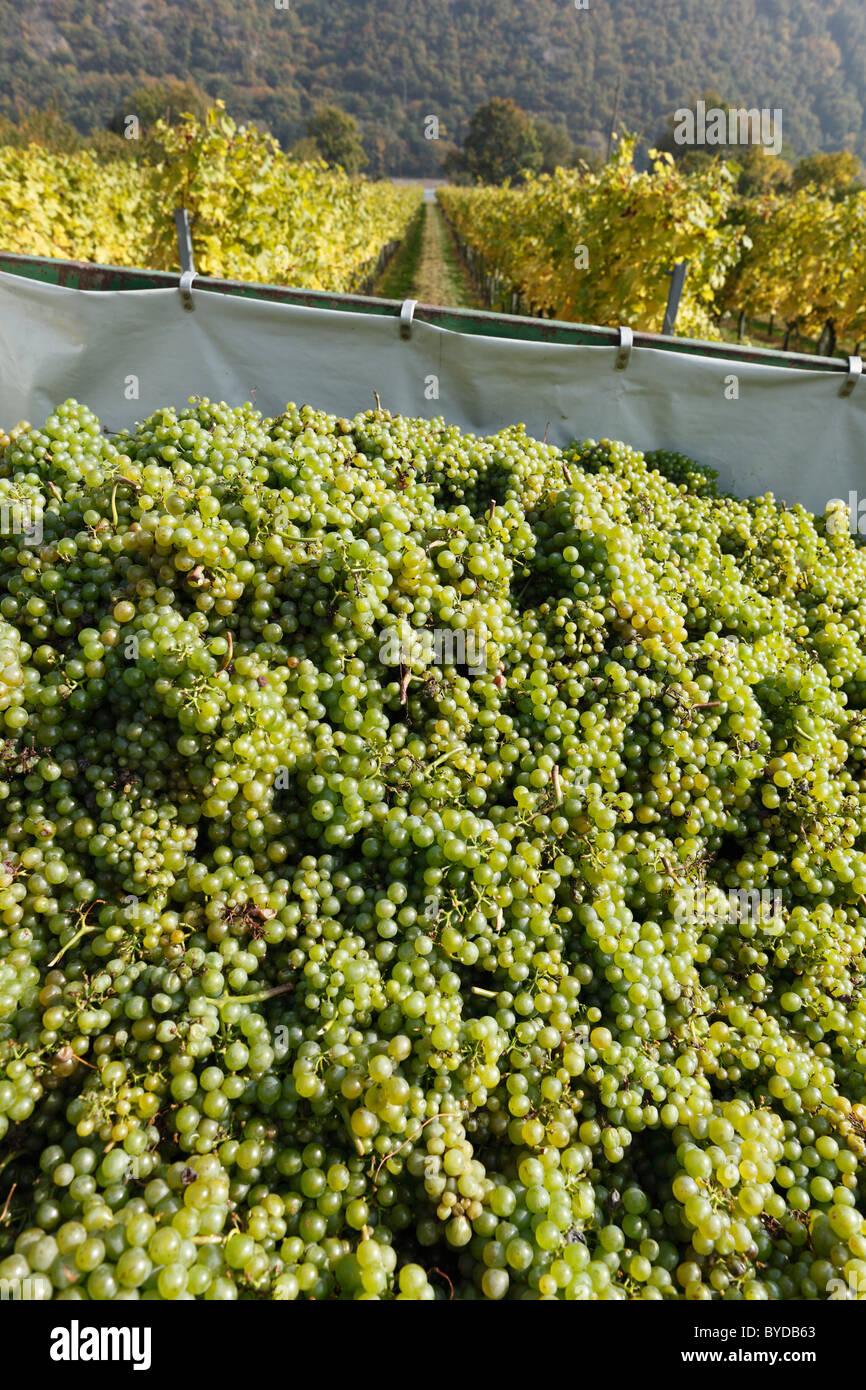 White grapes, vintage at Willendorf, Wachau, Waldviertel, Lower Austria, Austria, Europe - Stock Image