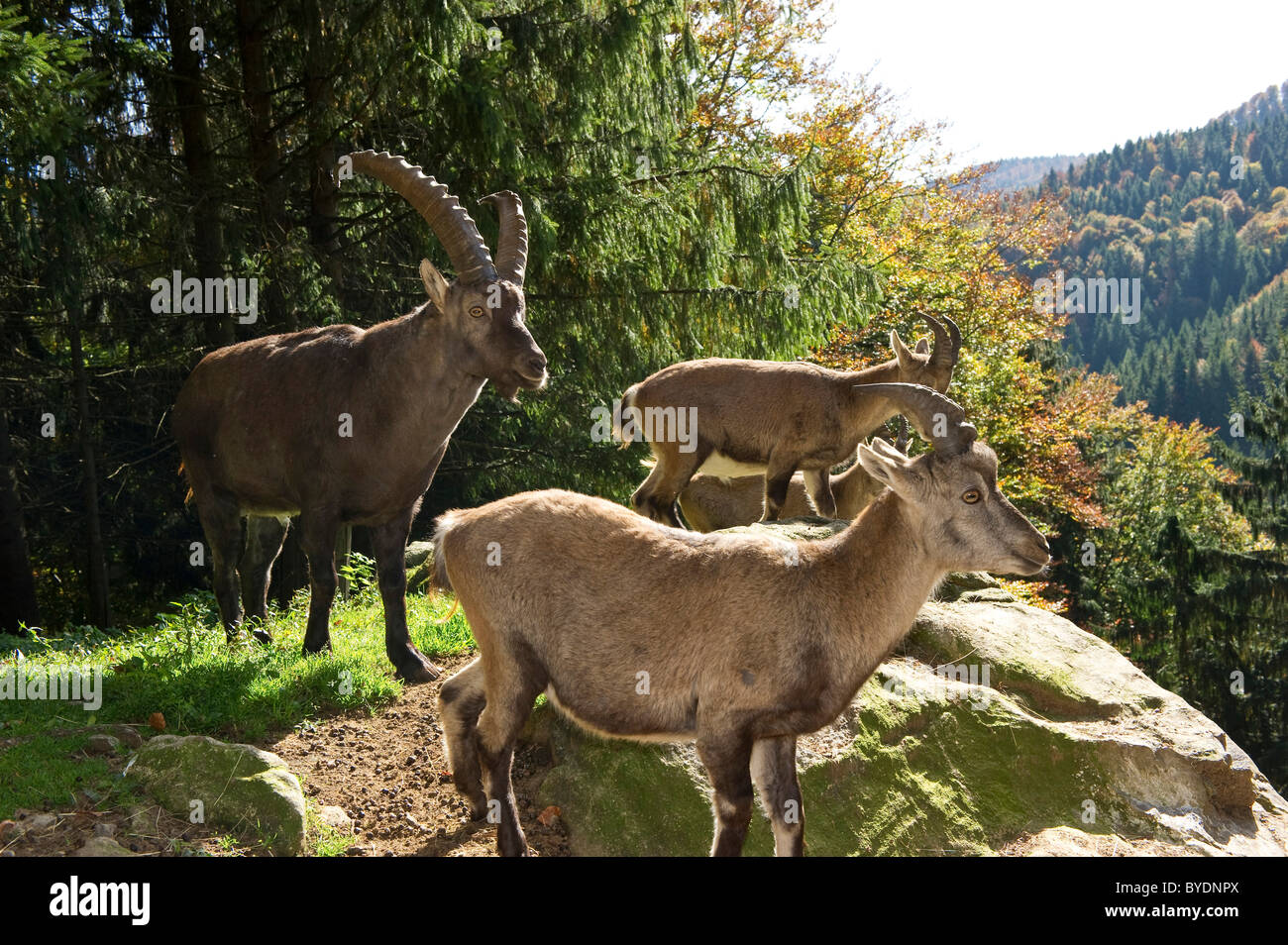 Ibex, Steinwasenpark, South Black Forest, Baden-Wuerttemberg, Germany, Europe - Stock Image