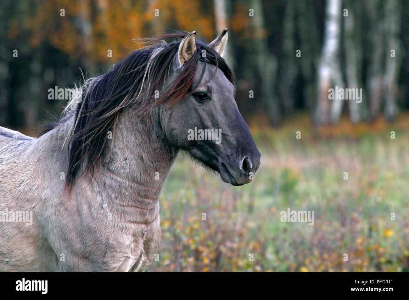 Konik horse (Equus przewalskii f. caballus), stallion, Tarpan rebreeding, portrait Stock Photo
