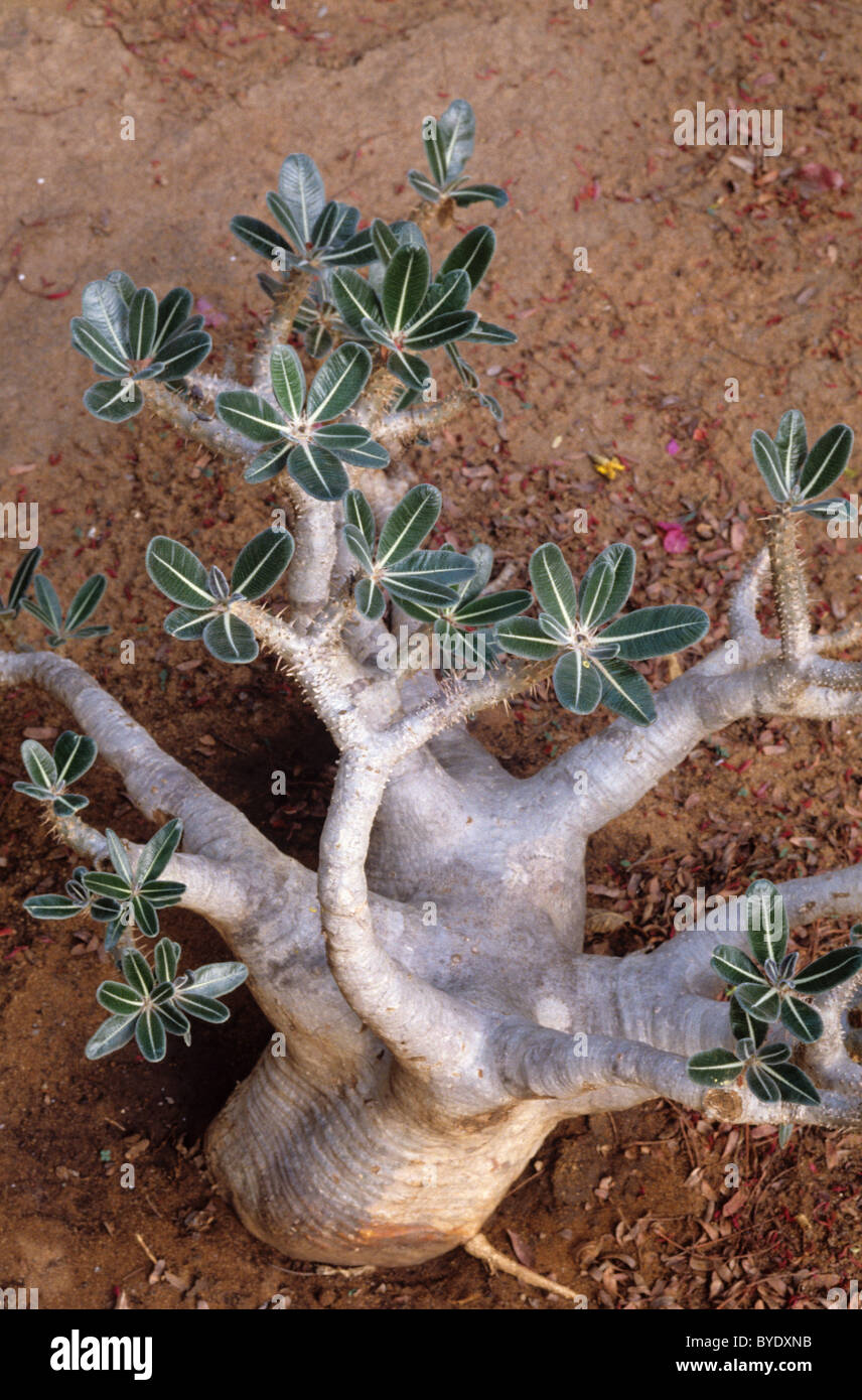 Pachypodium rosulatum var. gracilius Shrub or Plant, Endemic to southern Madagascar - Stock Image